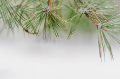 Snow-covered pine branch Royalty Free Stock Images
