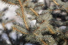 Snow-covered pine branch. Stock Photo