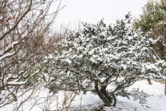 Snow covered pine Royalty Free Stock Images