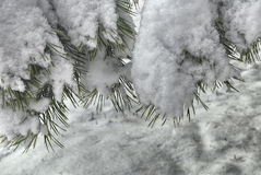 Snow covered pine branch Stock Photos