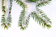 Snow covered pine branch tree Royalty Free Stock Image