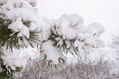 Snow-covered pine branches Royalty Free Stock Photography