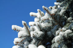 Snow Covered Pine Branches Against a Blue Sky Stock Photography