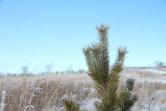 Snow-covered pine branches against the blue sky Royalty Free Stock Photos