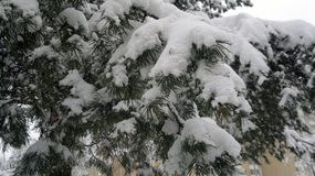 Snow covered pine branches of a coniferous tree winter royalty free stock photo