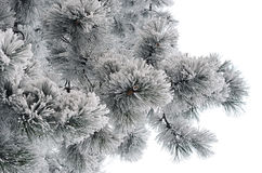 Snow-covered pine branches. On white background Royalty Free Stock Photography