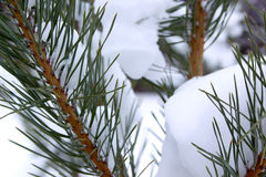 Snow covered pine branches in winter forest. Close-up Royalty Free Stock Photography
