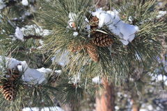 Snow covered pine cone Royalty Free Stock Photos
