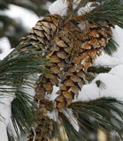 Snow covered pine cones Royalty Free Stock Photo