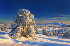 Snow-covered pine in the forest. Snow-covered forest in the winter montains on the sunset Royalty Free Stock Photography
