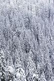 Snow covered pine forest. Aerial view of snow covered pine tree forest royalty free stock photo