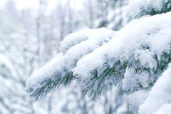 Snow-covered pine forest. Christmas Royalty Free Stock Photography