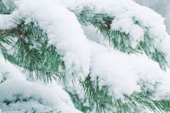 Snow-covered pine forest. Christmas Royalty Free Stock Photos