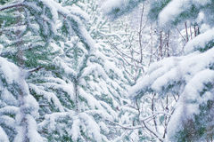 Snow-covered pine forest. Christmas Stock Images