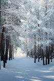 Snow-covered pine forest Stock Photography