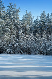 Snow-covered pine forest Royalty Free Stock Photography