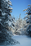 Snow-covered pine forest Stock Photo