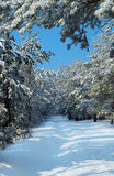 Snow-covered pine forest Stock Image