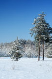 Snow-covered pine forest Stock Photos
