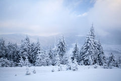 Snow covered pine forest in the mountains Royalty Free Stock Photography