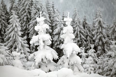 Snow covered pine forest in the mountains Stock Image