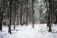 Snow-covered pine forest. Snow-covered pine needles covered with frost Royalty Free Stock Photos