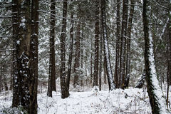Snow-covered pine forest. Snow-covered pine needles covered with frost Stock Images