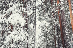 Snow-covered pine in the forest after snowfall. Royalty Free Stock Photos