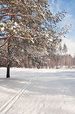 Snow-covered pine forest Royalty Free Stock Photo