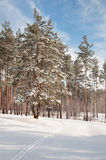 Snow-covered pine forest Royalty Free Stock Images