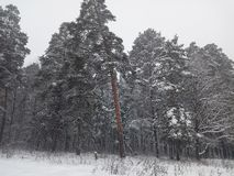 Snow-covered pine forest on a white winter day stock photos