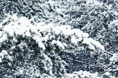 Snow-covered pine needles Stock Images