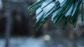 Snow covered pine needles Royalty Free Stock Image