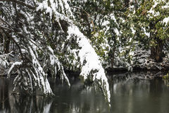 Snow covered pine Royalty Free Stock Photography