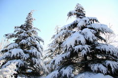 Snow covered pine Stock Photo