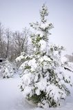 Snow covered pine tree Stock Images