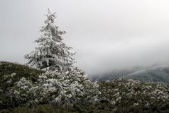 Snow covered pine tree royalty free stock photo