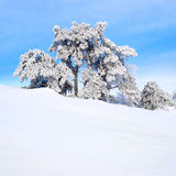 Snow-covered pine tree. Stock Images