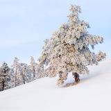 Snow-covered pine tree. Royalty Free Stock Photos