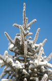Snow Covered Pine Tree. Pine tree covered in fresh layer of snow with blue sky Stock Photography