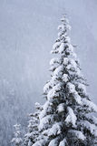 Snow covered pine tree. A view of a snow covered pine tree on a cloudy day with a forest covered mountain side in the background Royalty Free Stock Photos