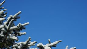 Snow covered pine tree branch against a clear blue sky stock image