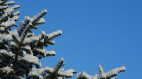 Snow covered pine tree branch against a clear blue sky royalty free stock image
