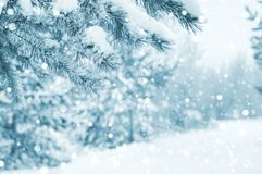 Snow-covered pine tree branches royalty free stock photo