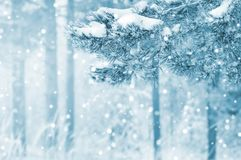 Snow-covered pine tree branches royalty free stock image