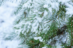 Snow Covered Pine Tree Branches Close Up Stock Photos