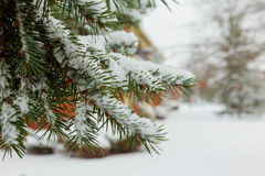 Snow Covered Pine Tree Branches Close Up. Branches of pine tree with snow Royalty Free Stock Photos