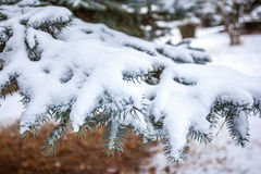 Snow Covered Pine Tree Branches Close Up Royalty Free Stock Photo
