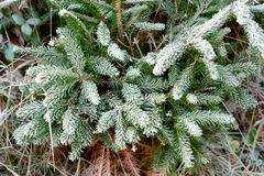Snow Covered Pine Tree Branches Close Up Stock Photography