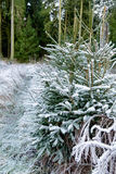 Snow Covered Pine Tree Branches Close Up Stock Image
